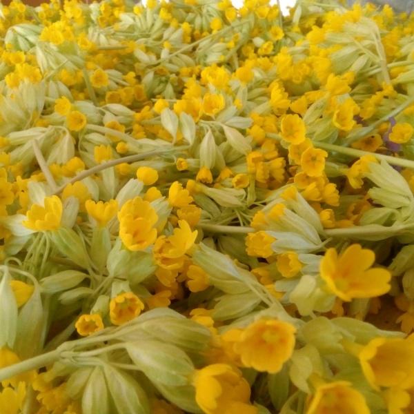 fleur de coucou pour les tisanes des Vergers de l'Amélanche