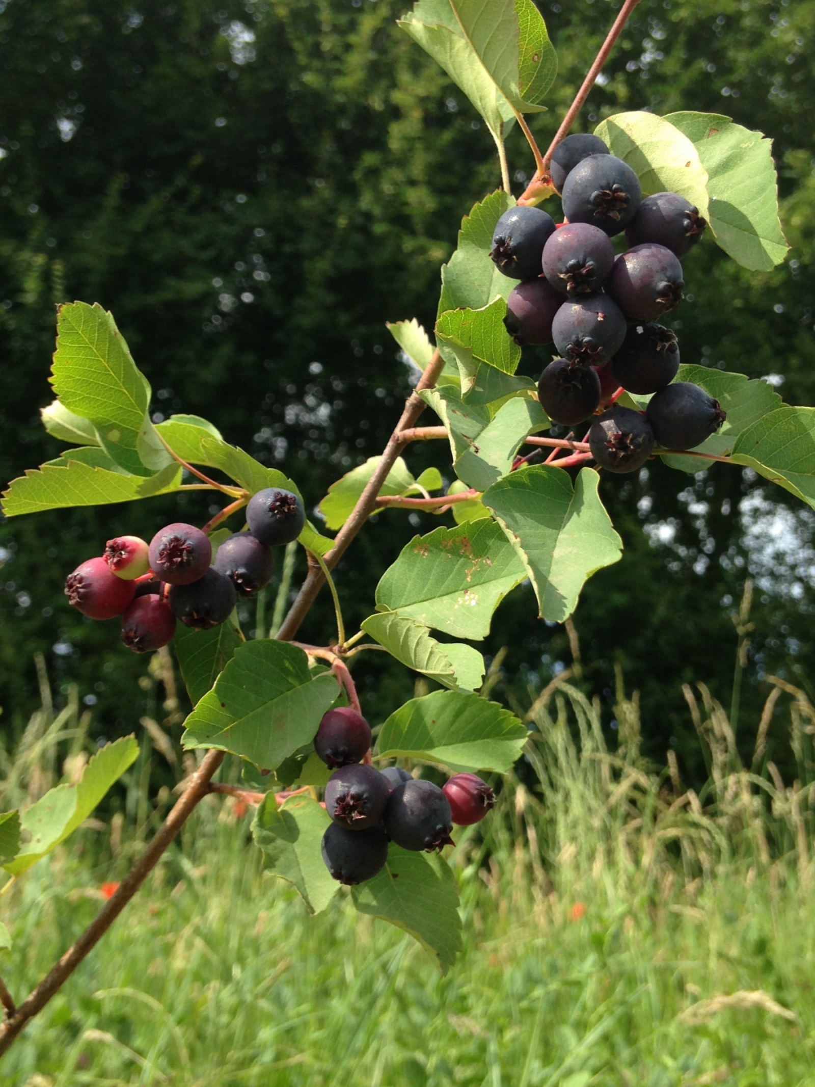 Amélanchier, june berry, saskattoon berry