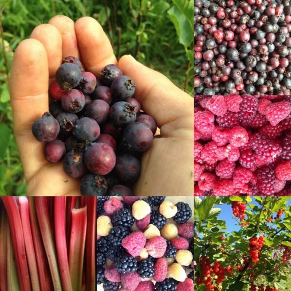 un verger en permaculture: fruits variés au vergers de l'amélanche
