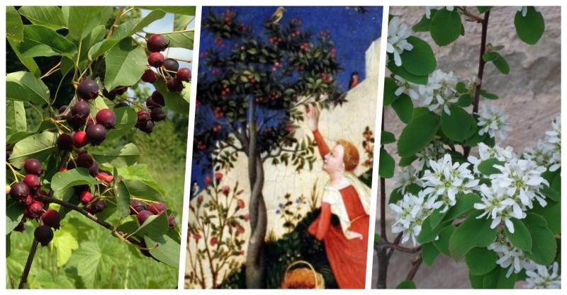 L'amélanchier,  l'arbre aux oiseaux par excellence des jardins d'amour?
