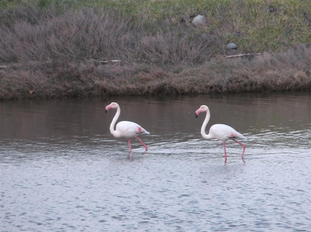 Flamingos at the salt plains in Kalloni Lesvos