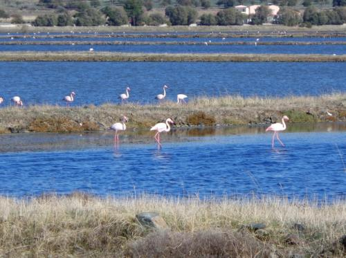 Flamingos at the salt plains in Kalloni