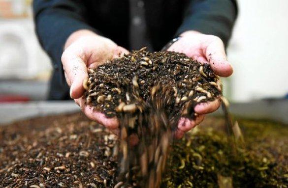 L'élevage d'insectes pour produire de la farine animale est bien moins destructeur pour l'environnement que les sources de protéines classiques.