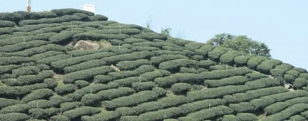 jardin thé taiwan