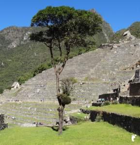arbre Machu Picchu