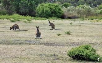 wallabies-kangourou-road_GF