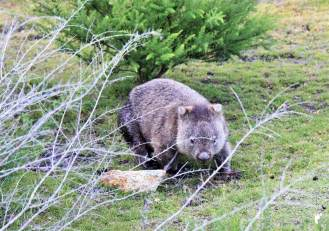 wombat-mt-william_GF