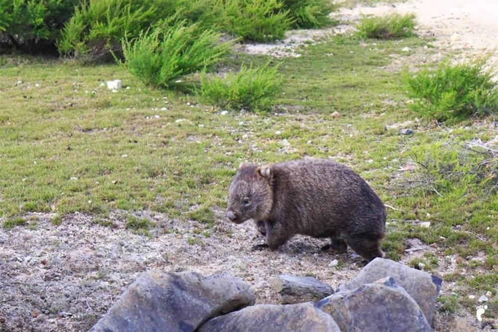 wombat tasmanie