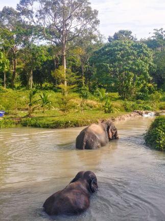 Éléphants dans l'eau