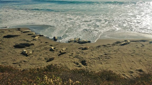 Elephants de mer plage californie