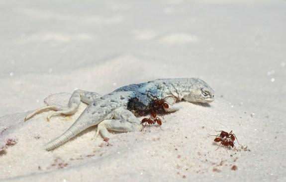 lézard mort white sands nouveau mexique