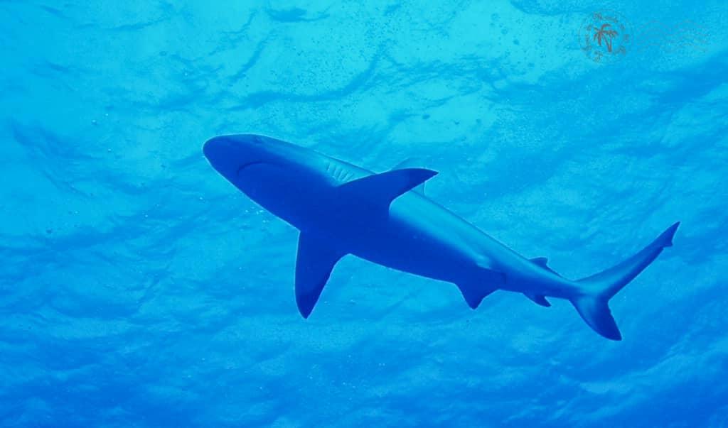 Un requin plane au dessus de nos têtes à Bora Bora