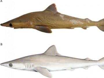 Une espèce de requin découverte