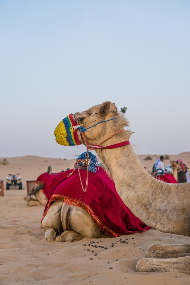 Kamele in Dubai - in der Wüste - lets-do-this.de