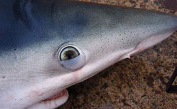 Shark Eyes