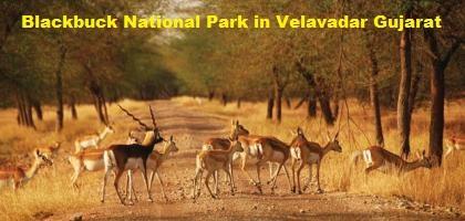 Blackbuck_National_Park_In_Velavadar_Gujarat_-_Information_Of_Black_Buck_Sanctuary_Nri_Gujarati_India_Gujarat_News_Photos_1610.jpg