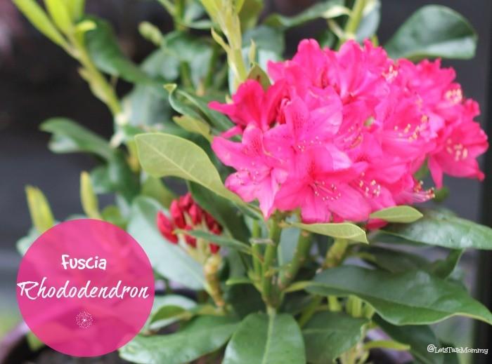fusciarhododendron