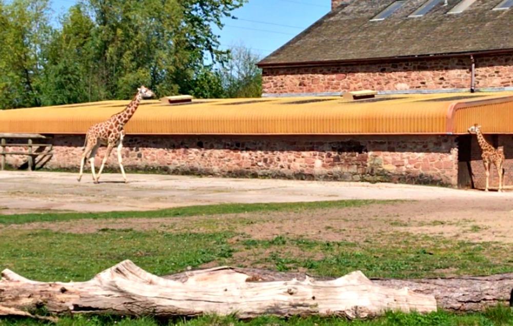 giraffers in zoo