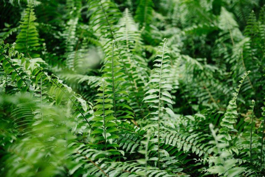 Midsummer in Latvia | fern flowers