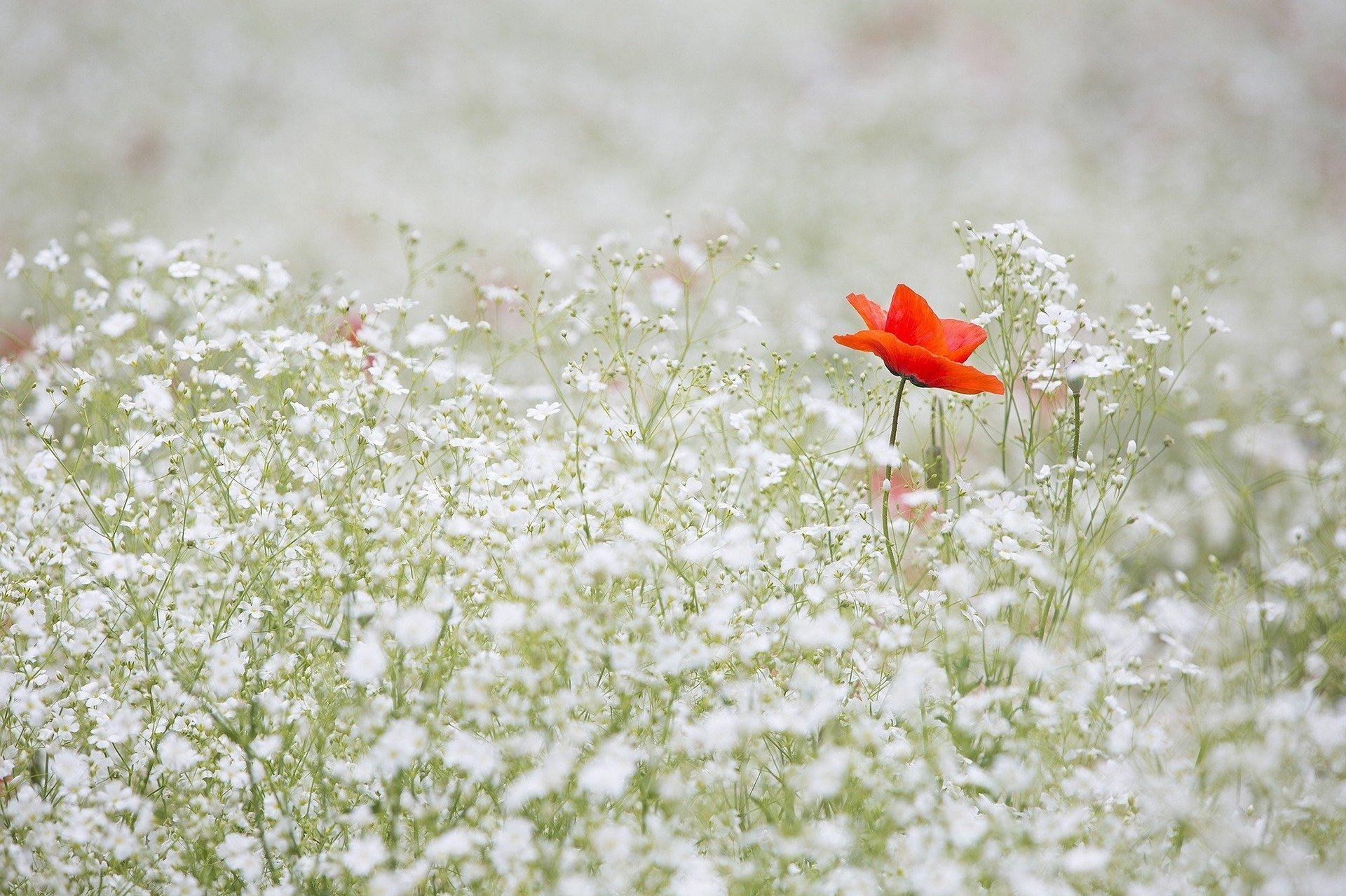 Un papavero in un campo di fiori chiari si distingue dalla massa. Ma se si cambia prospettiva, un papavero, può anche ricordare un momento particolare in una marea di ricordi, come avviene nei ricordi del professore ideato da Sergio Nelli in Ricrescite