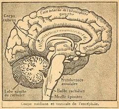 Cerveau3