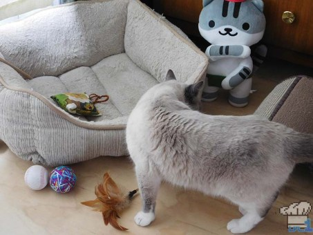A curious siamese cat sniffs around a set up scene of cat toys, scratching post and comfy looking cat bed.