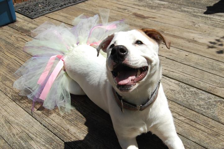An adoptable pit bull mix wearing a tutu