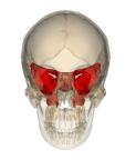 Craniosacraal therapie bij clusterhoofdpijn? Het wiggenbeen.