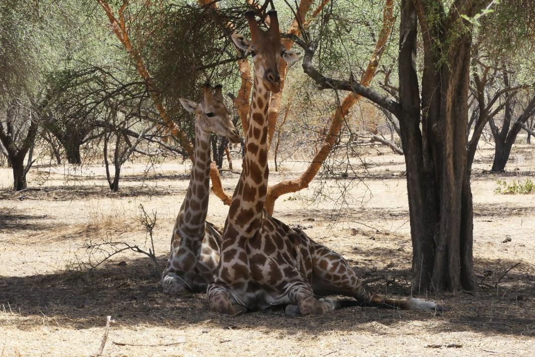 Deux girafes se reposent à l'ombre