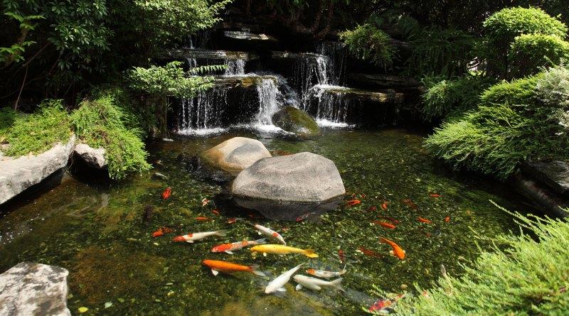Keep your koi pond free from algae