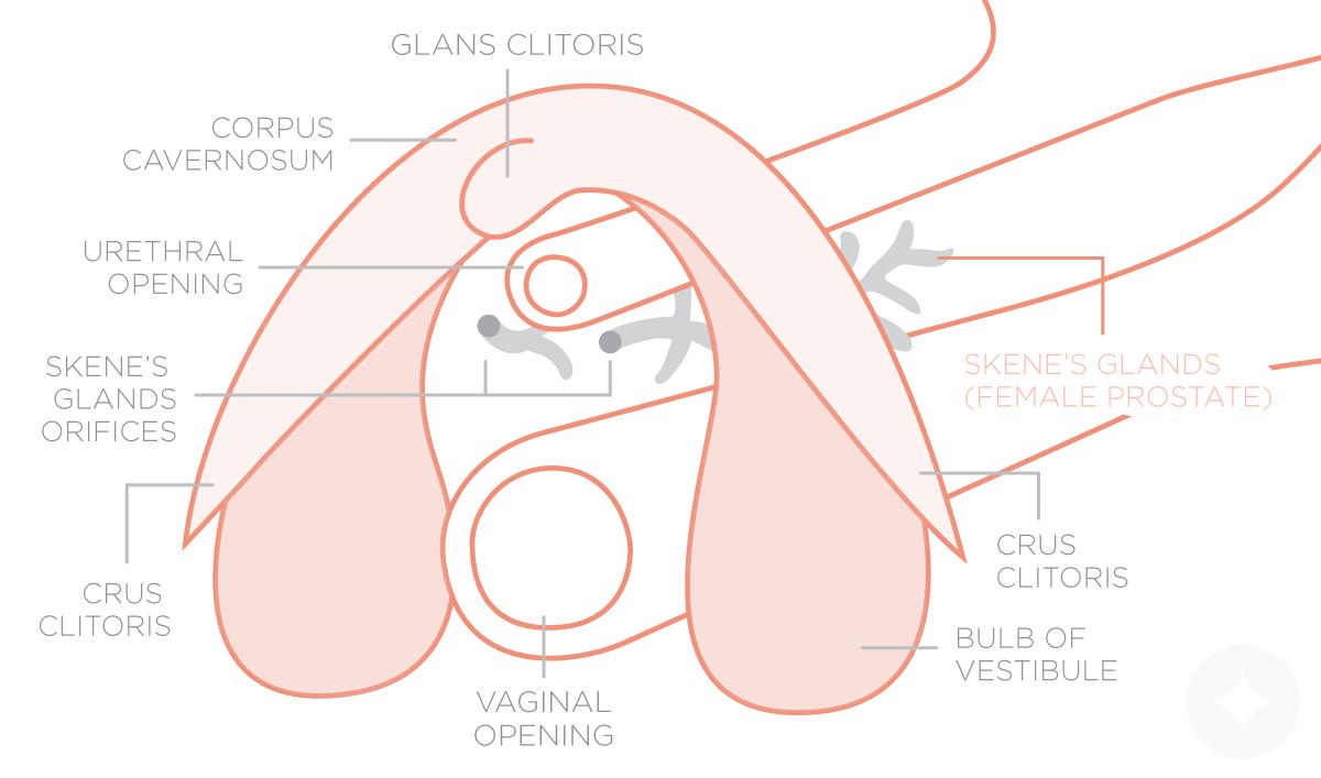 Female g spot diagram