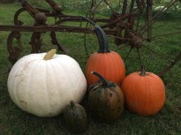 Pumpkins at Willy Tee's