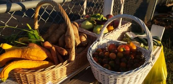 Winlock Community Garden Harvest