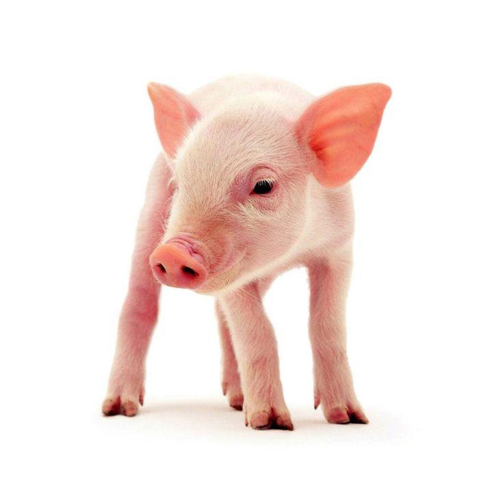 test-de-personalidad-el-cerdo