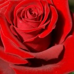 Poema -Como la rosa: nunca
