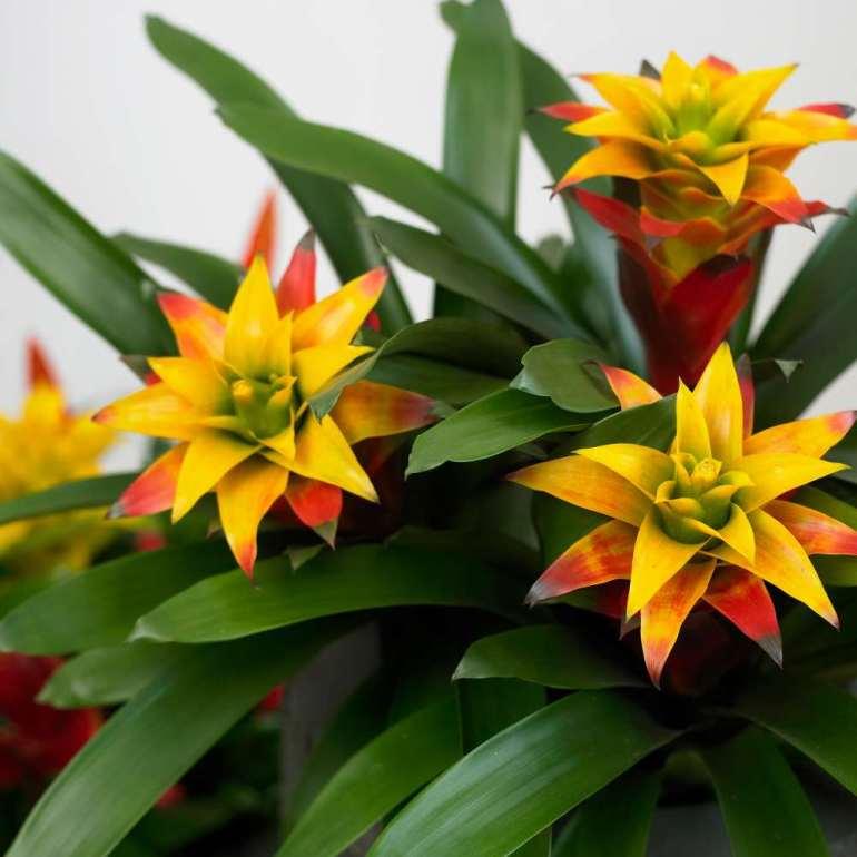 Bromelia fiori
