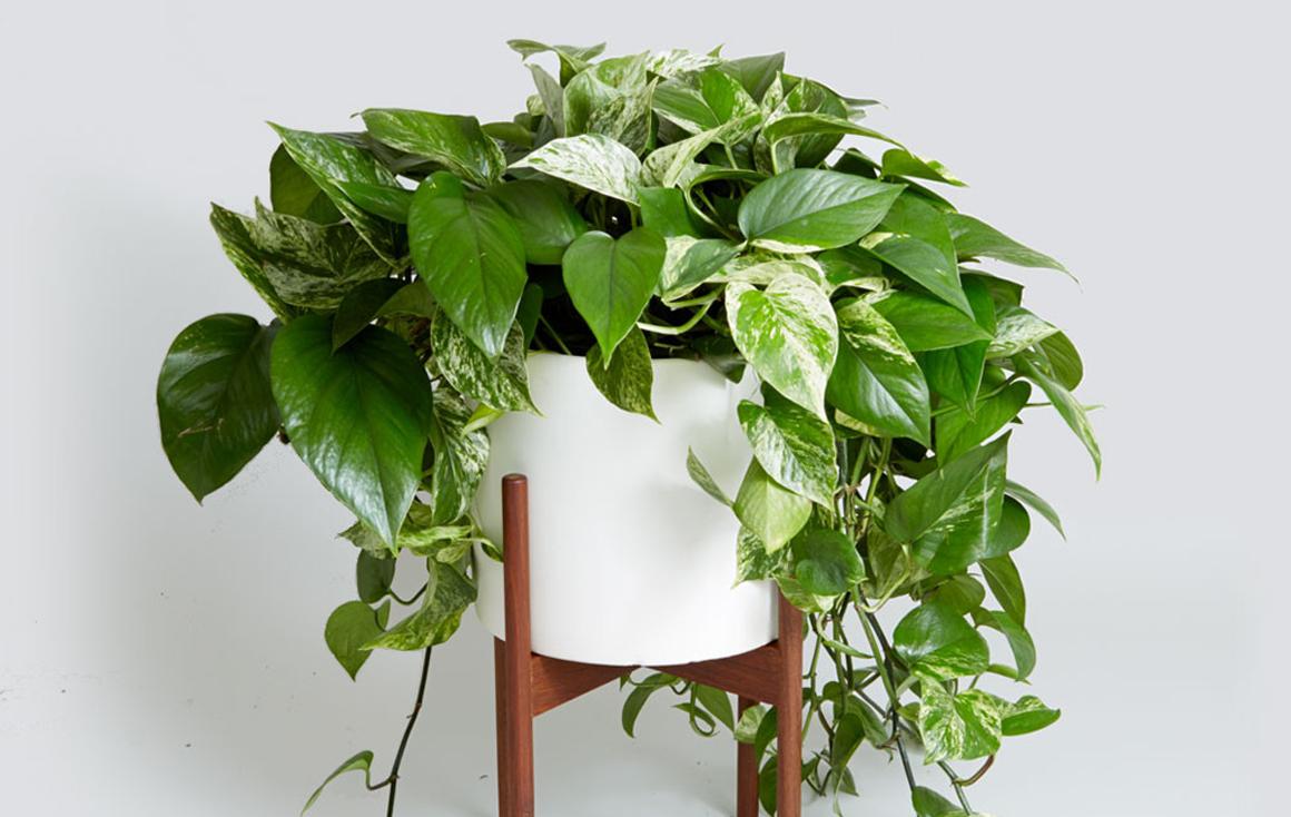 Pothos piante