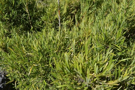 chusquea culeou dense ground cover