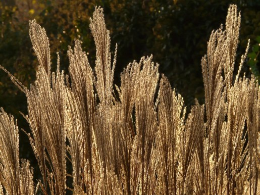 miscanthus-feater reed grass