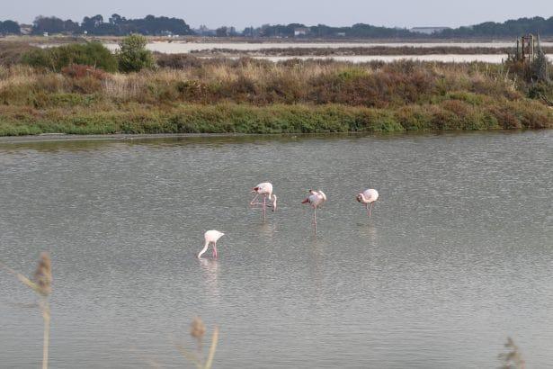 Les flamands roses de Camargue : vous saurez pourquoi les flamands sont roses uniquement en profitant de cette balade au cœur du terroir