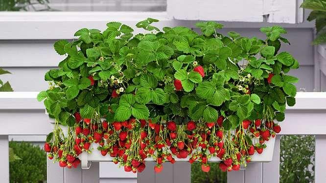 Faire pousser des fraises sur son balcon