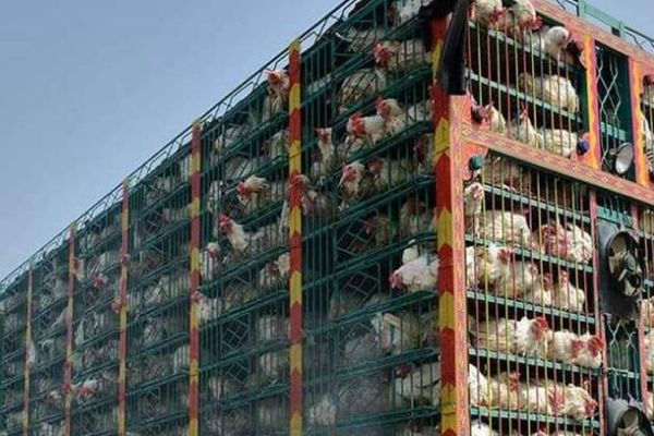 chicken supplier
