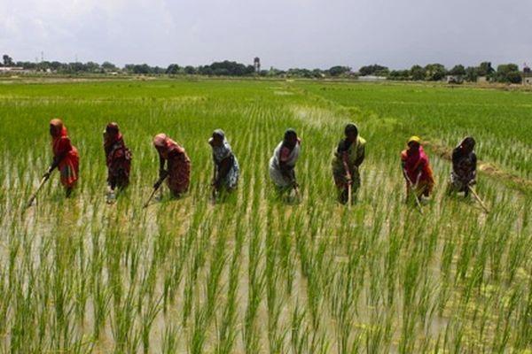 women in rice field