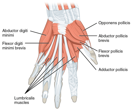 800px-1121_intrinsic_muscles_of_the_hand_superficial_sin