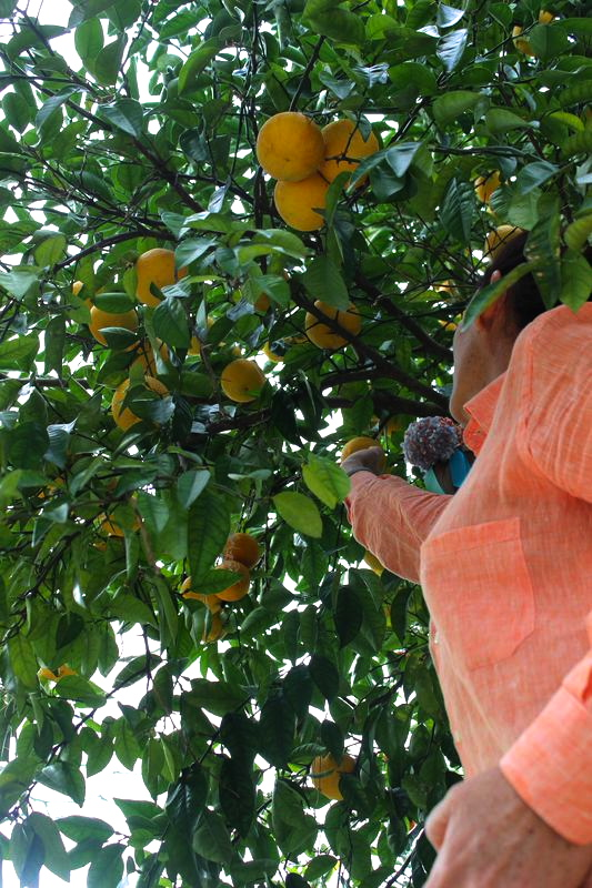 Picking Oranges to make an orange candle: LibbieSummers.com