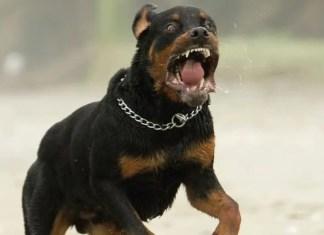 rottweiler buscate azzanna bambino 8 anni