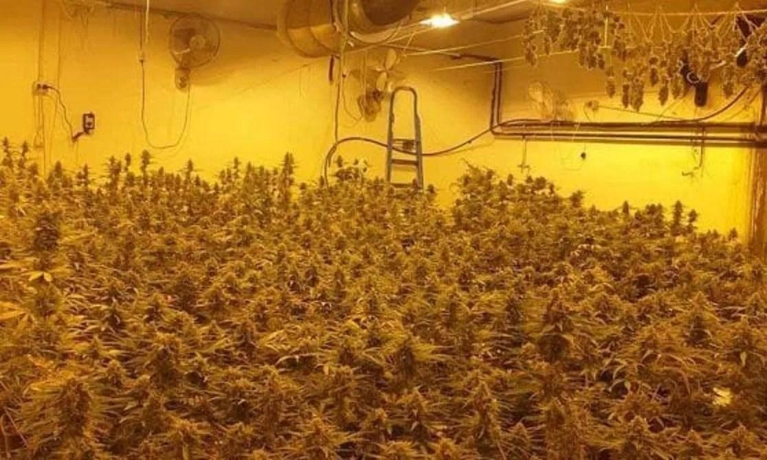 DROGA - 467 piante di marijuana nel seminterrato ...