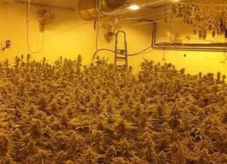 seminterrato-milano-467-piante-marijuana