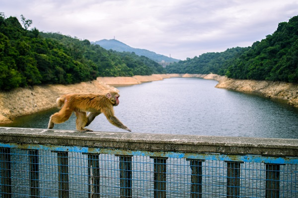 Cute monkey walking on a fence near the lake surrounded by green trees in Hong Kong