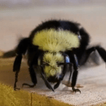 Harnessing The Power Of The Bumblebee